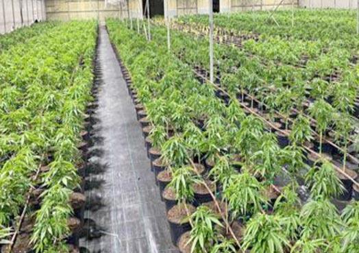 Robo-Horticultura (Cannabis)